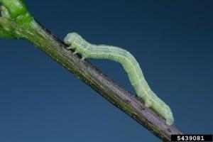 cankerworm-300x200.jpg