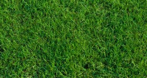 Green landscaped bermuda grass background close up.