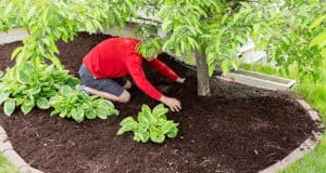 A Step by Step Guide for Removing Turf & Mulching the Tree Base